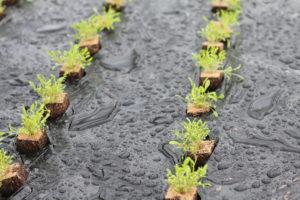 Frisch gepflanzter Rucola im Gewächshaus