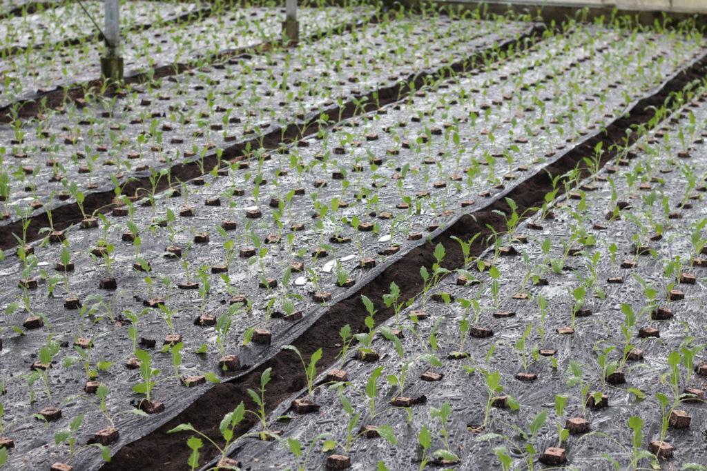 Im Gewächshaus von Gemüsebau Bauer wachsen die Zutaten für Grüne Smoothies heran.
