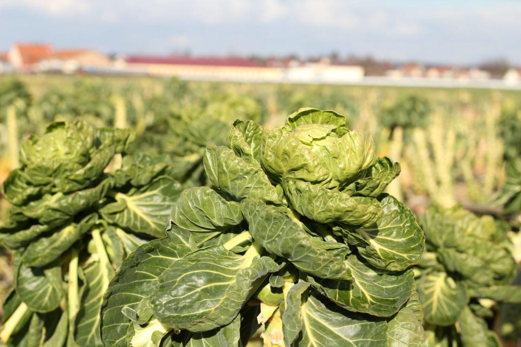 Frisches Blattgrün wächst hier im Nürnberger Knoblauchsland
